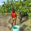 Agricultor_Ifc_nariokotome